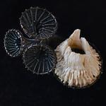 zilveren-zeepok-kelkjes-ring-maja-houtman
